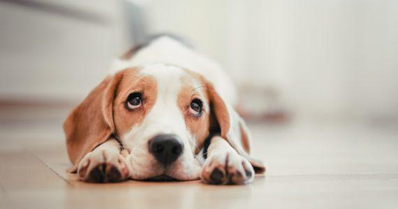 beneficios-de-esterilizar-a-tu-perro