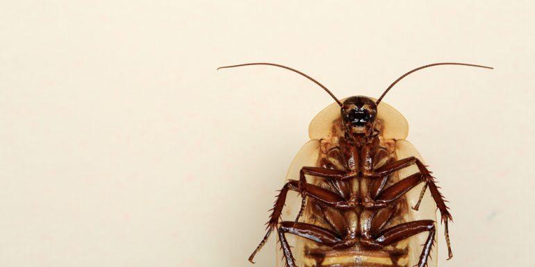 cucaracha-ex