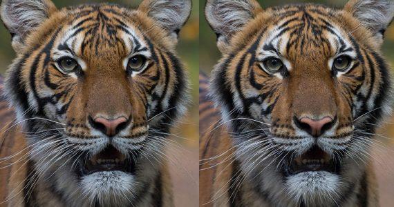 tigre-coronavirus