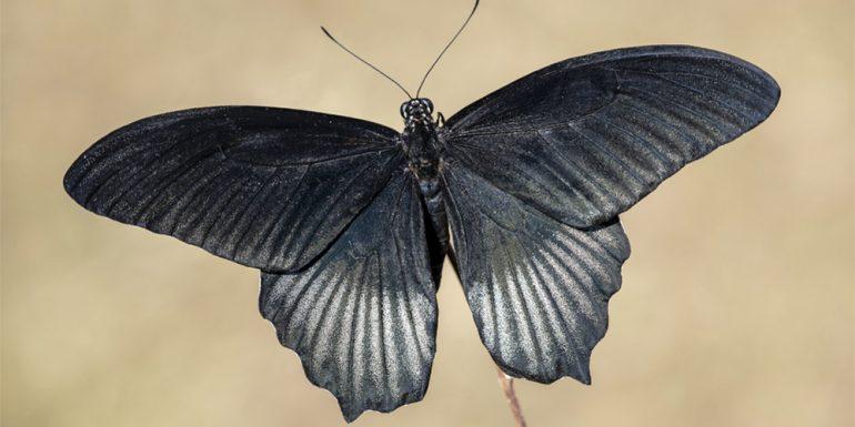 mariposa-negra-significado
