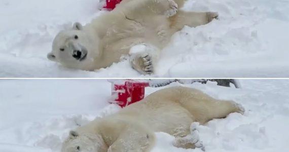 VIDEO: Oso polar disfruta de nevada en zoológico y tiene el día más feliz de su vida