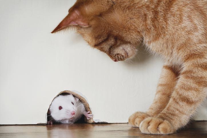 felino y raton observandose de manera mutua