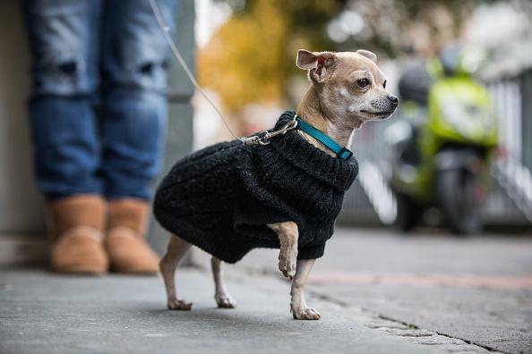 mejores perros para vivir en departamentos chihuahua