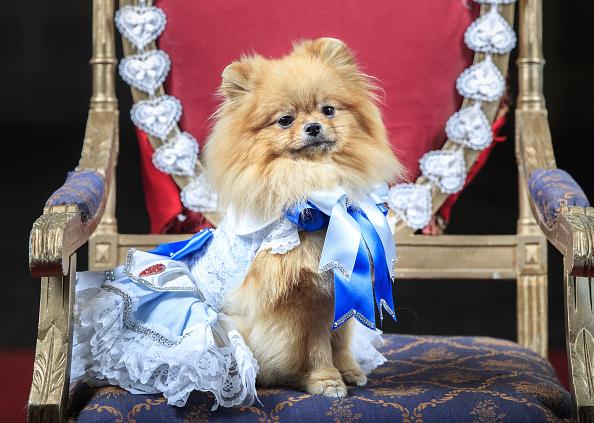 mejores perros para vivir en departamentos pomerania
