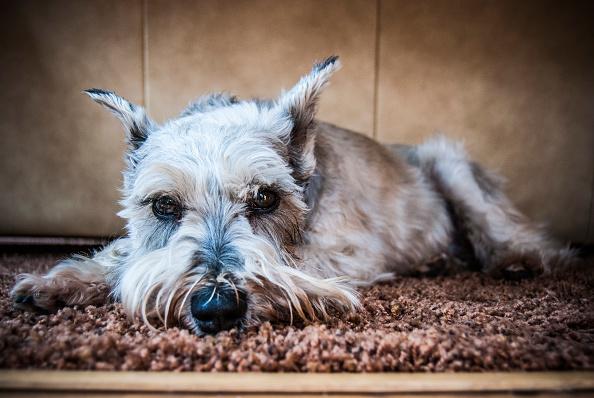 mejores perros para vivir en departamentos schnauzer