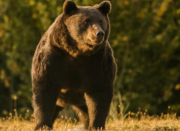 "Acusan a príncipe de Liechtenstein de matar al oso pardo ""más grande"" de Rumanía"
