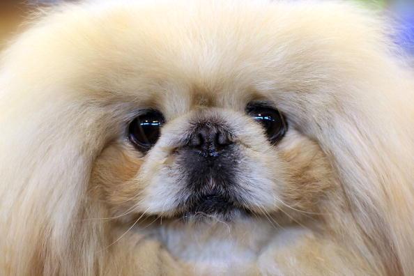 raza perro pekines