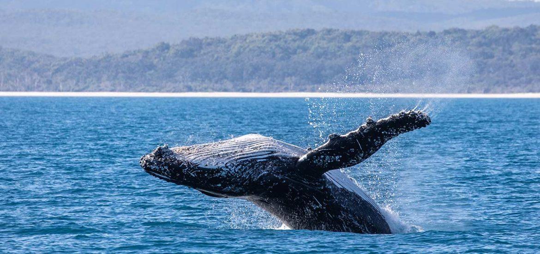 Una ballena se 'traga' a un pescador y luego lo escupe vivo