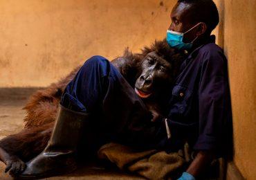 La historia de la foto viral de la gorila huérfana que murió en brazos de su amigo y cuidador